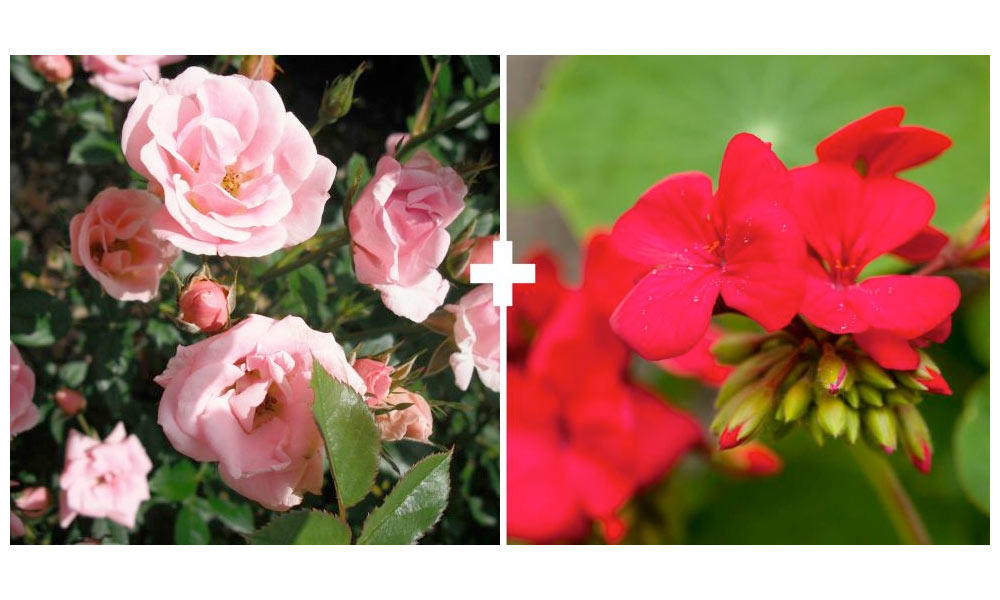Roses + Geraniums or Chives