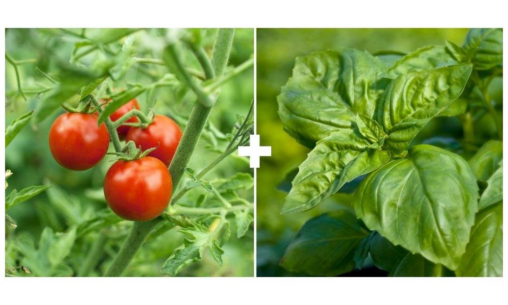 Tomatoes + Basil or Cilantro/Coriander