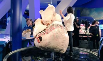 Preserved 273 kg whale heart will last 1 000