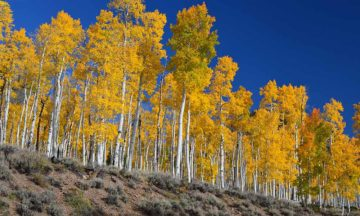The oldest living things might be Pando, is a quaking aspen that has cloned itself so many times it's created an entire forest