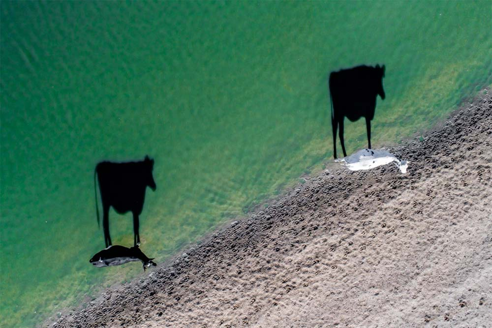 shadows of two cows by water's edge